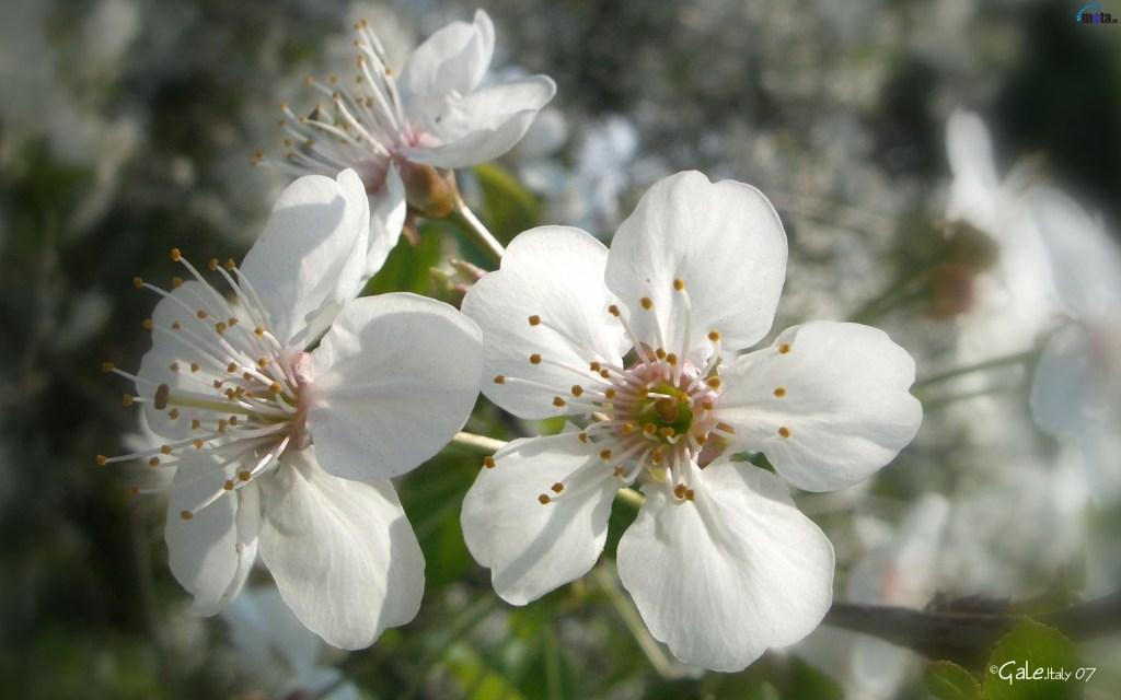 яблоневый цвет картинки 7